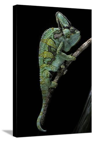 Chamaeleo Calyptratus (Veiled Chameleon)-Paul Starosta-Stretched Canvas Print