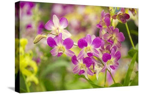Purple Dendrobium Orchid-Ron Dahlquist-Stretched Canvas Print