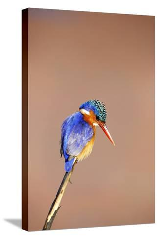 Malachite Kingfisher, South Africa-Richard Du Toit-Stretched Canvas Print