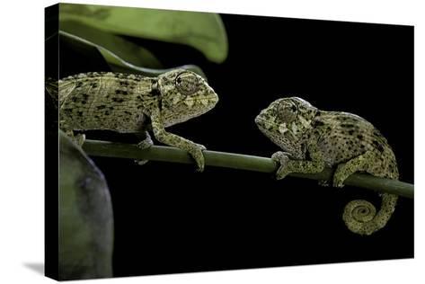Chamaeleo Johnstoni (Johnston's Chameleon) - Young-Paul Starosta-Stretched Canvas Print