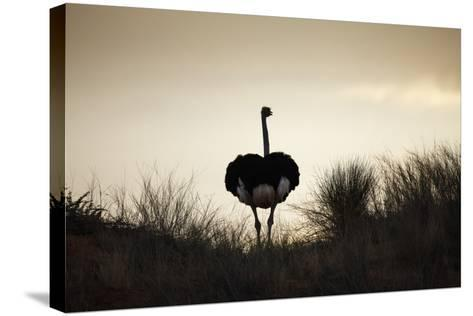 Ostrich Silhouette, South Africa-Richard Du Toit-Stretched Canvas Print