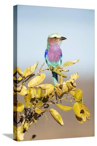 Lilac-Breasted Roller, South Africa-Richard Du Toit-Stretched Canvas Print
