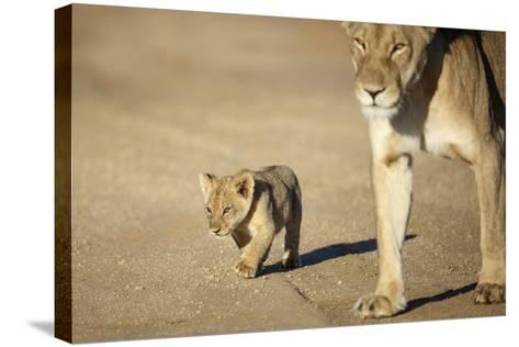 Lioness and Cub, Botswana-Richard Du Toit-Stretched Canvas Print