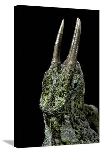 Chamaeleo Johnstoni (Johnston's Chameleon)-Paul Starosta-Stretched Canvas Print
