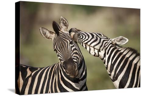 Zebras, South Africa-Richard Du Toit-Stretched Canvas Print