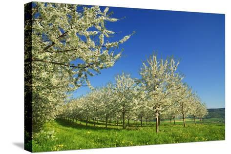 Cherry Plantation in Bloom-Frank Krahmer-Stretched Canvas Print