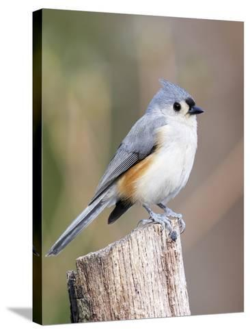 Tufted-Titmouse-Gary Carter-Stretched Canvas Print