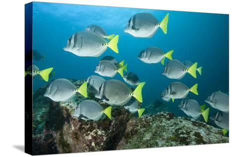 School of Yellow Tail Surgeonfish-Michele Westmorland-Stretched Canvas Print