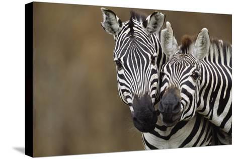 Burchell's Zebras-Momatiuk - Eastcott-Stretched Canvas Print