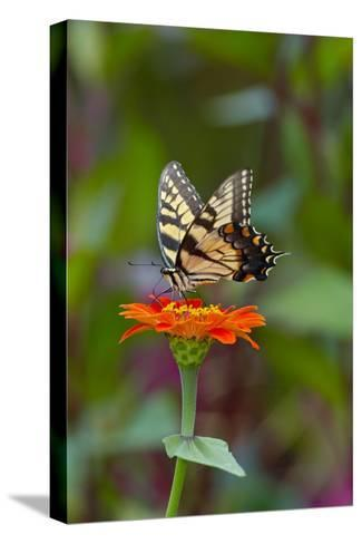 Swallowtail Butterfly-Gary Carter-Stretched Canvas Print