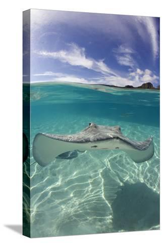 Tahitian Stingray in French Polynesia-Stephen Frink-Stretched Canvas Print
