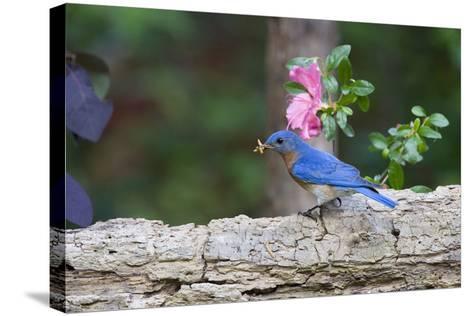 Eastern Bluebird-Gary Carter-Stretched Canvas Print