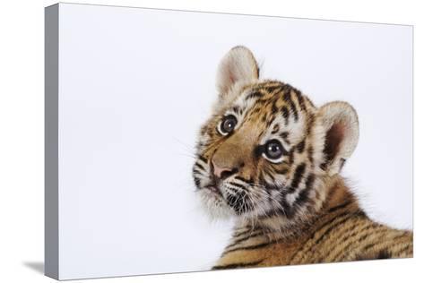 Tiger Cub-Martin Harvey-Stretched Canvas Print