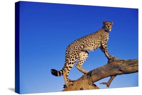 Cheetah-Martin Harvey-Stretched Canvas Print