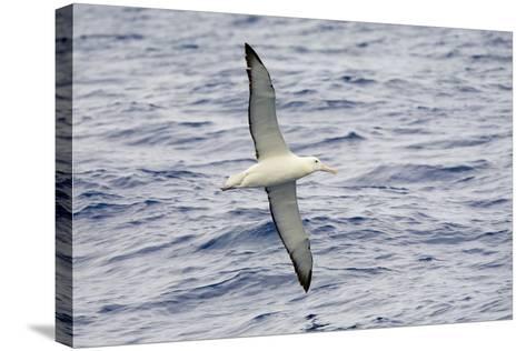 Wandering Albatross Flying above Sea-Momatiuk - Eastcott-Stretched Canvas Print