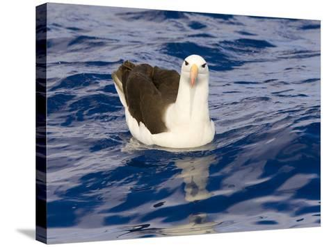 Black-Browed Albatross Floating on Sea-Momatiuk - Eastcott-Stretched Canvas Print