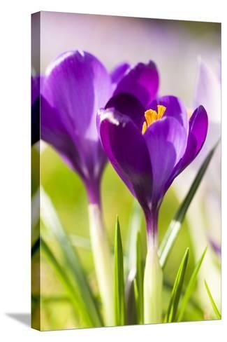 Pink Crocus Flowers-Frank Lukasseck-Stretched Canvas Print