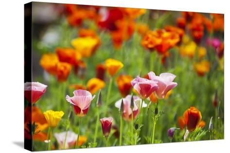 Poppies in Full Bloom-Terry Eggers-Stretched Canvas Print