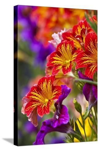 Salpiglossis Flowers in Full Bloom-Terry Eggers-Stretched Canvas Print