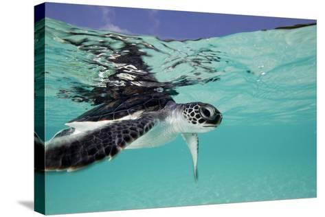 Juvenile Green Sea Turtle (Chelonia Mydas)-Stephen Frink-Stretched Canvas Print