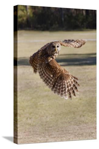Barred Owl in Flight-Hal Beral-Stretched Canvas Print