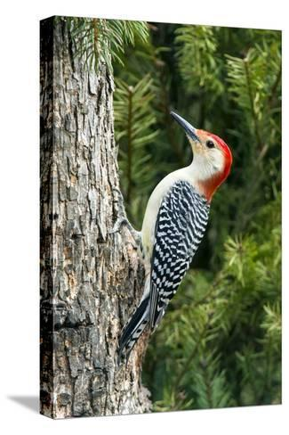 Red-Bellied Woodpecker-Gary Carter-Stretched Canvas Print