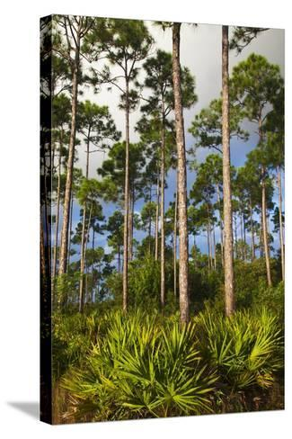 Pine Forest in Long Pine Area of Everglades NP-Terry Eggers-Stretched Canvas Print