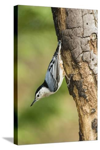 White-Breasted Nuthatch-Gary Carter-Stretched Canvas Print