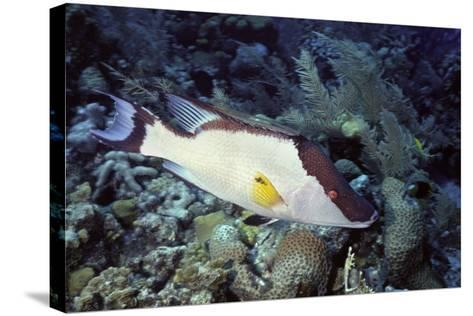 Hogfish-Hal Beral-Stretched Canvas Print
