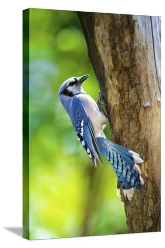 Blue Jay-Gary Carter-Stretched Canvas Print