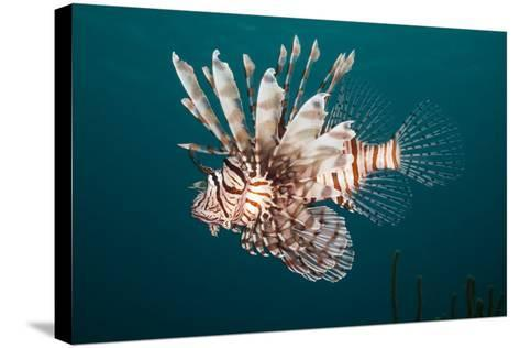 Lionfish-Michele Westmorland-Stretched Canvas Print