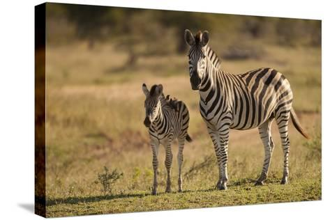 Burchell's Zebra Foal and Mother-Michele Westmorland-Stretched Canvas Print