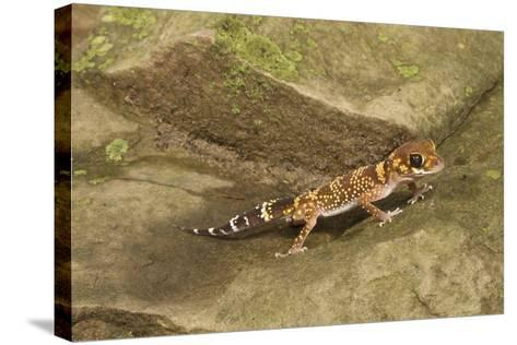 Thick-Tailed Gecko-Joe McDonald-Stretched Canvas Print