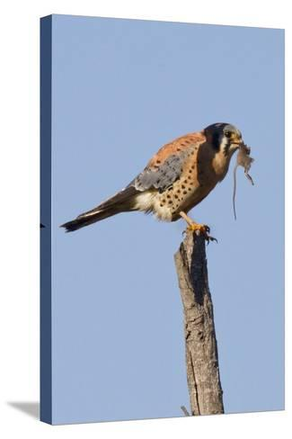 American Kestrel Eating a Rodent-Hal Beral-Stretched Canvas Print