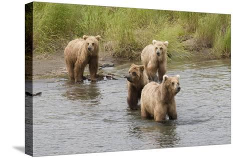 Brown(Grizzly) Bear Mother and Two Year Old Cubs-Hal Beral-Stretched Canvas Print