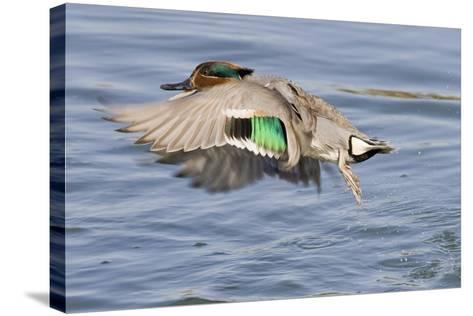 Male Green-Winged Teal Duck Takes Off-Hal Beral-Stretched Canvas Print