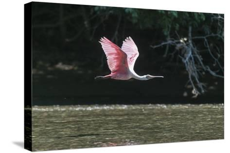 Roseate Spoonbill (Platalea Ajaja)-Sergio Pitamitz-Stretched Canvas Print