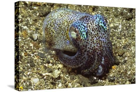 Berry's Bobtail Squid-Hal Beral-Stretched Canvas Print