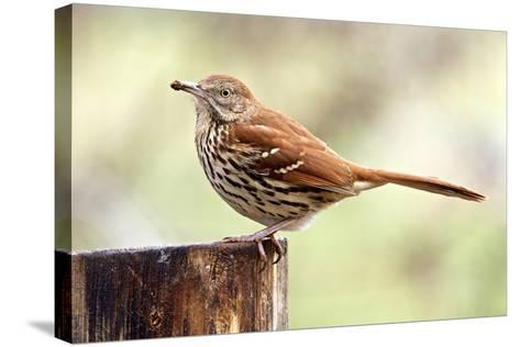 Brown Thrasher Standing on Tree Stump, Mcleansville, North Carolina, USA-Gary Carter-Stretched Canvas Print