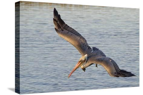 Brown Pelican in Breeding Plummage Flying-Hal Beral-Stretched Canvas Print