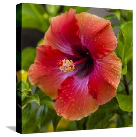 Close-Up of Hibiscus Flower-Richard T. Nowitz-Stretched Canvas Print