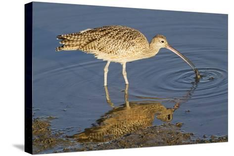 Long-Billed Curlew Catchs a Clam-Hal Beral-Stretched Canvas Print