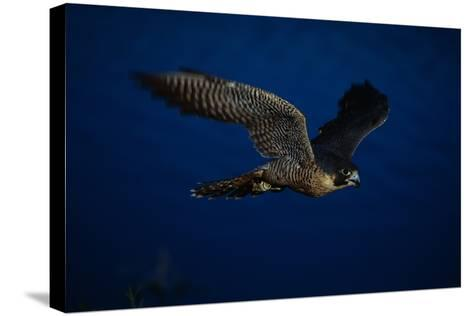 Peregrine Falcon Flying over a Lake-W^ Perry Conway-Stretched Canvas Print