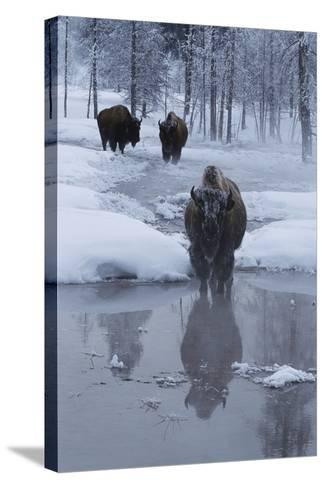 Bison Standing along a Stream in Winter-W^ Perry Conway-Stretched Canvas Print