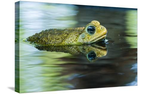 Cane Toad-Gary Carter-Stretched Canvas Print