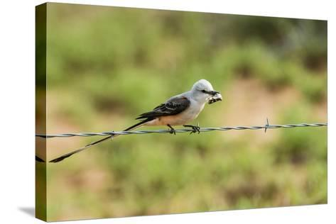 Scissor-Tailed Flycatcher-Gary Carter-Stretched Canvas Print