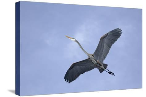 Great Blue Heron in Flight-Arthur Morris-Stretched Canvas Print
