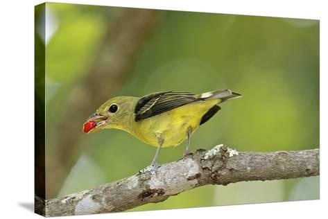 Summer Tanager-Gary Carter-Stretched Canvas Print