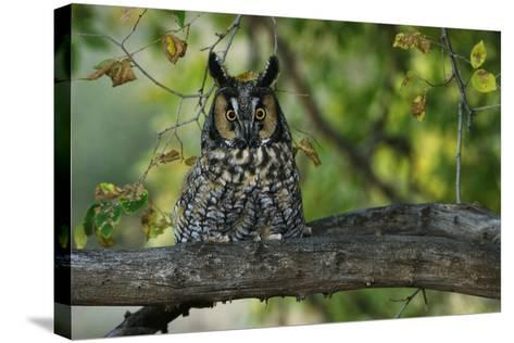 Long-Eared Owl Perched on Tree Branch-W^ Perry Conway-Stretched Canvas Print