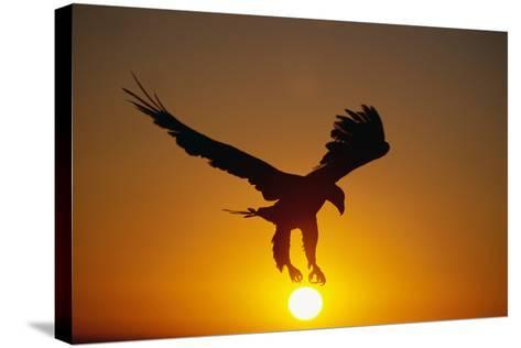 Bald Eagle Flying at Sunrise-W^ Perry Conway-Stretched Canvas Print